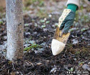 сроки подкормки плодовых деревьев