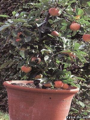 выращивание кадках южных сортов яблоня