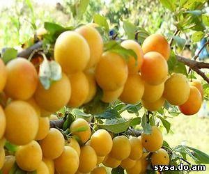выращивание южных плодовых алыча