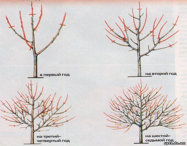 обрезка деревьев весной по годам абрикос