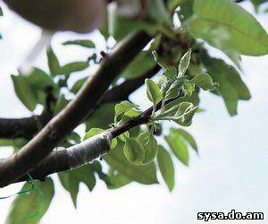 прививка деревьев способом копулировки