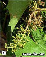 соцветия винограда болезни