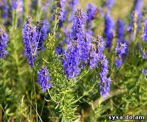 Иссоп лечечение лекарственными растениями целебные травы