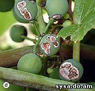 болезни винограда антракноз