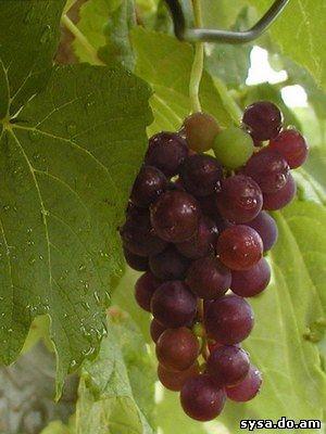 мучнистая роса гроздь
