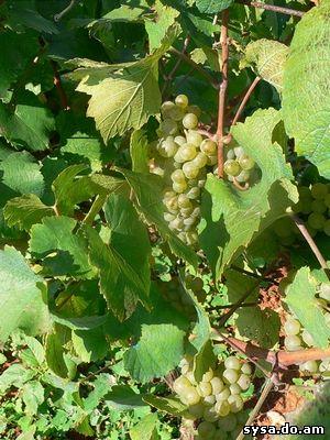 виноградная гроздь одиум