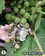 ягоды винограда болезни