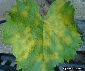 Лист виноградный болезни