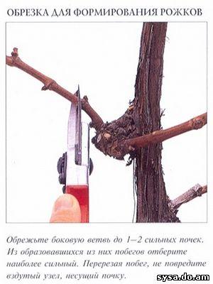 обрезка формирование винограда