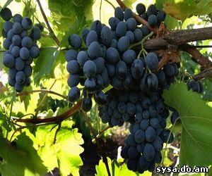 Препараты баковые смеси защита винограда