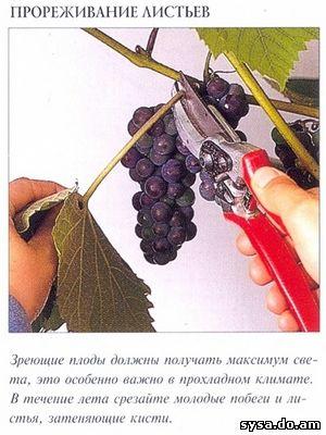 прореживание листьев виноградного куста