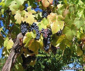 болезни виноградного куста
