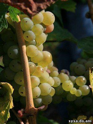виноградная лоза и кисть