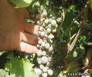 Защита от болезней виноградв