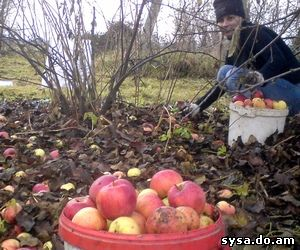 плодоношение яблони переодичность