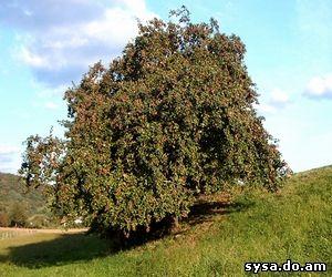 плодоношение яблони одиночество