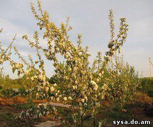 плодовые ветки яблони весна